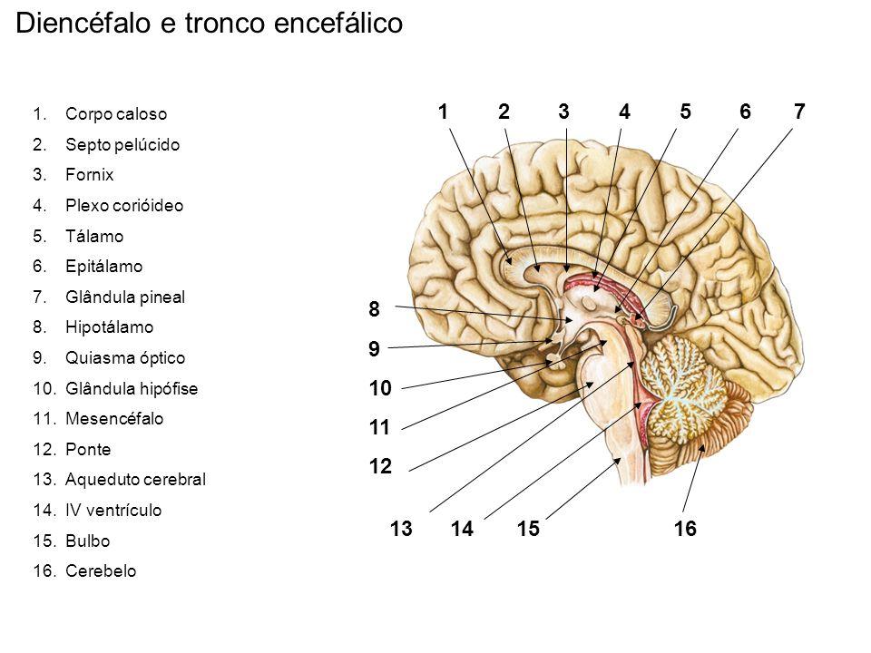 Diencéfalo e tronco encefálico