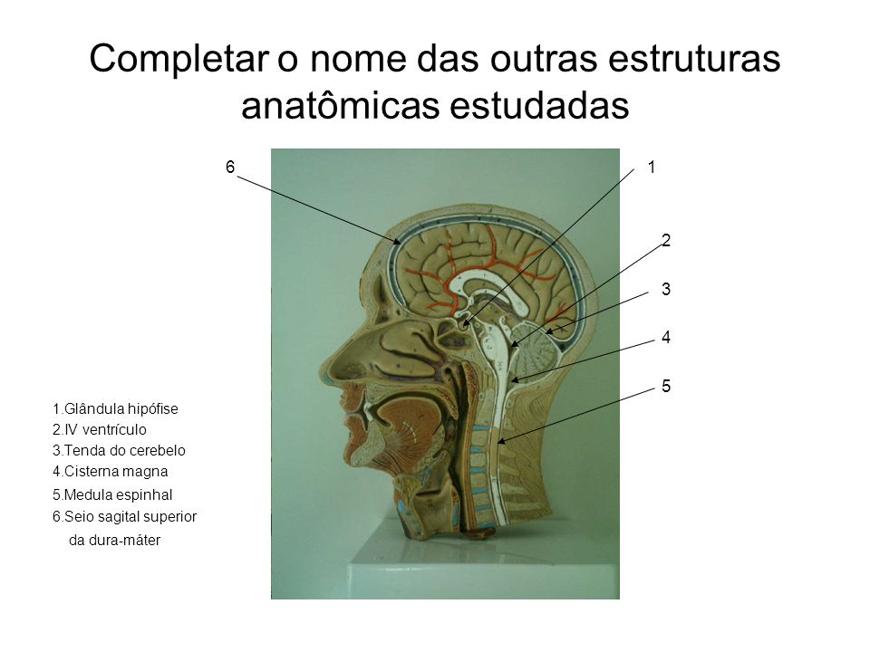 Completar o nome das outras estruturas anatômicas estudadas