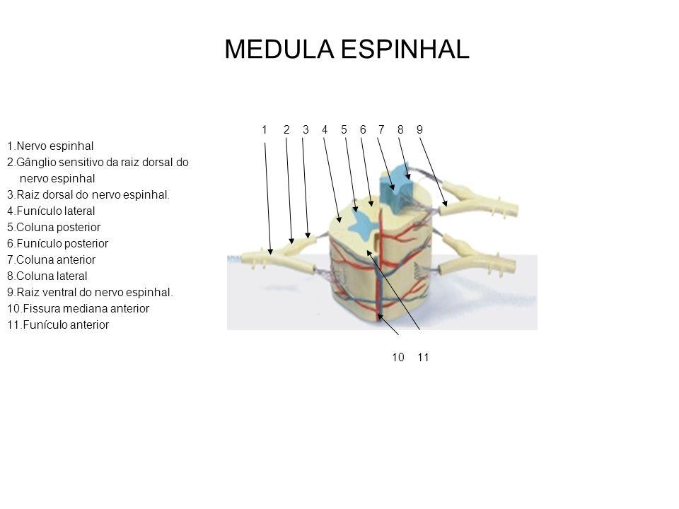 MEDULA ESPINHAL 1 2 3 4 5 6 7 8 9 1.Nervo espinhal
