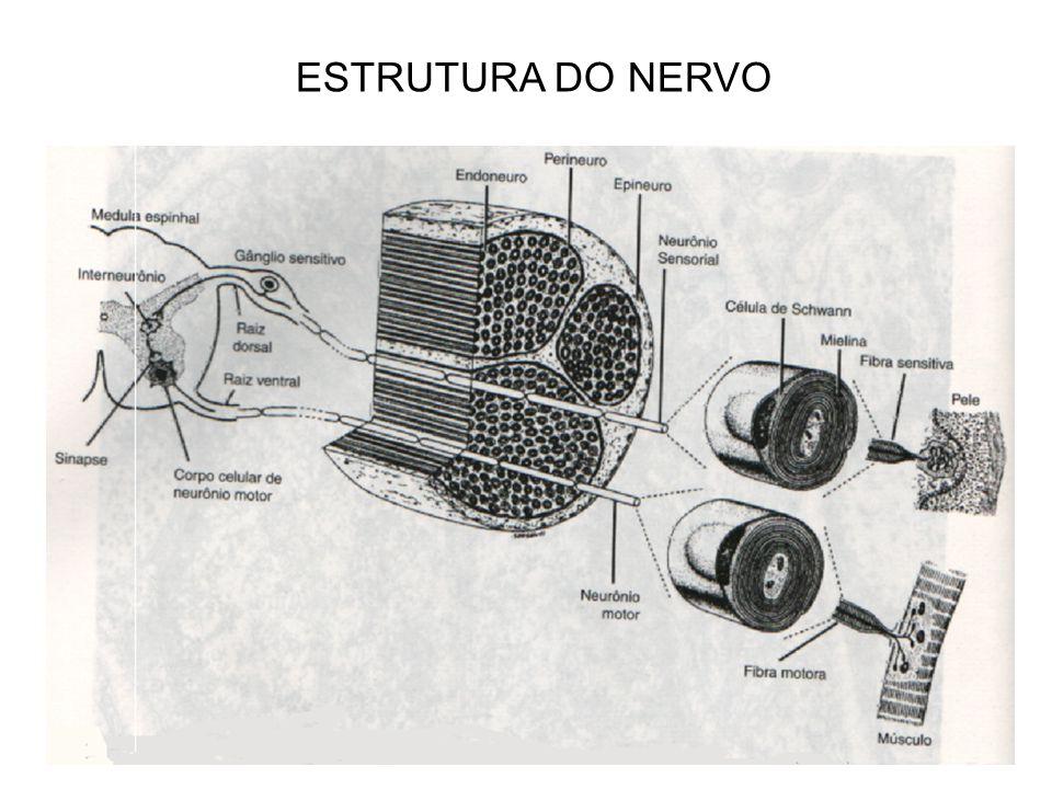 ESTRUTURA DO NERVO