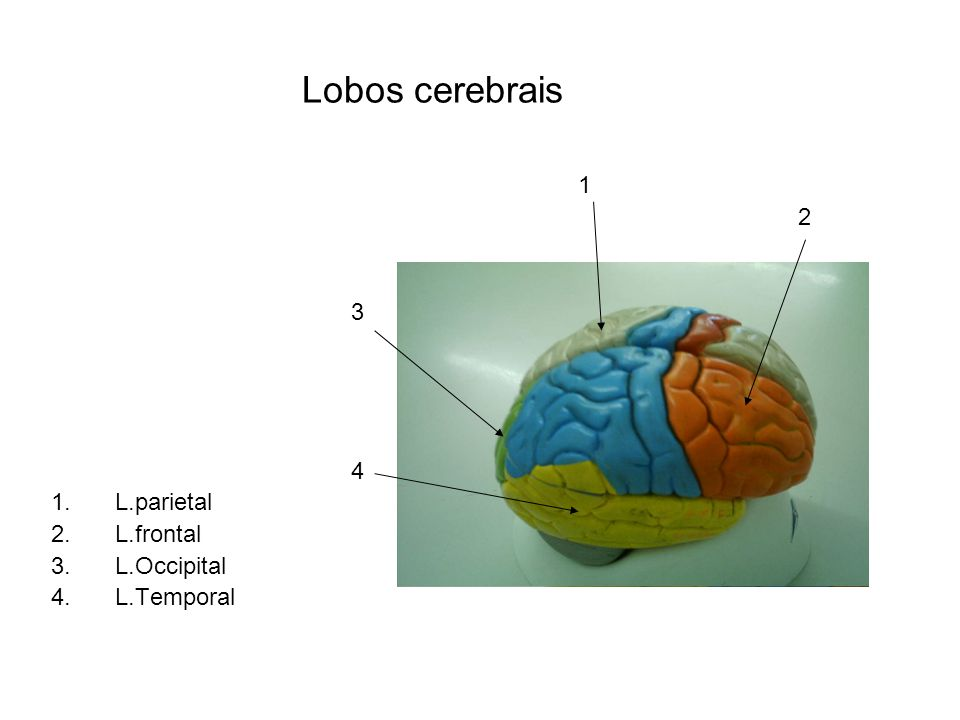 Lobos cerebrais 1 2 3 4 L.parietal L.frontal L.Occipital L.Temporal