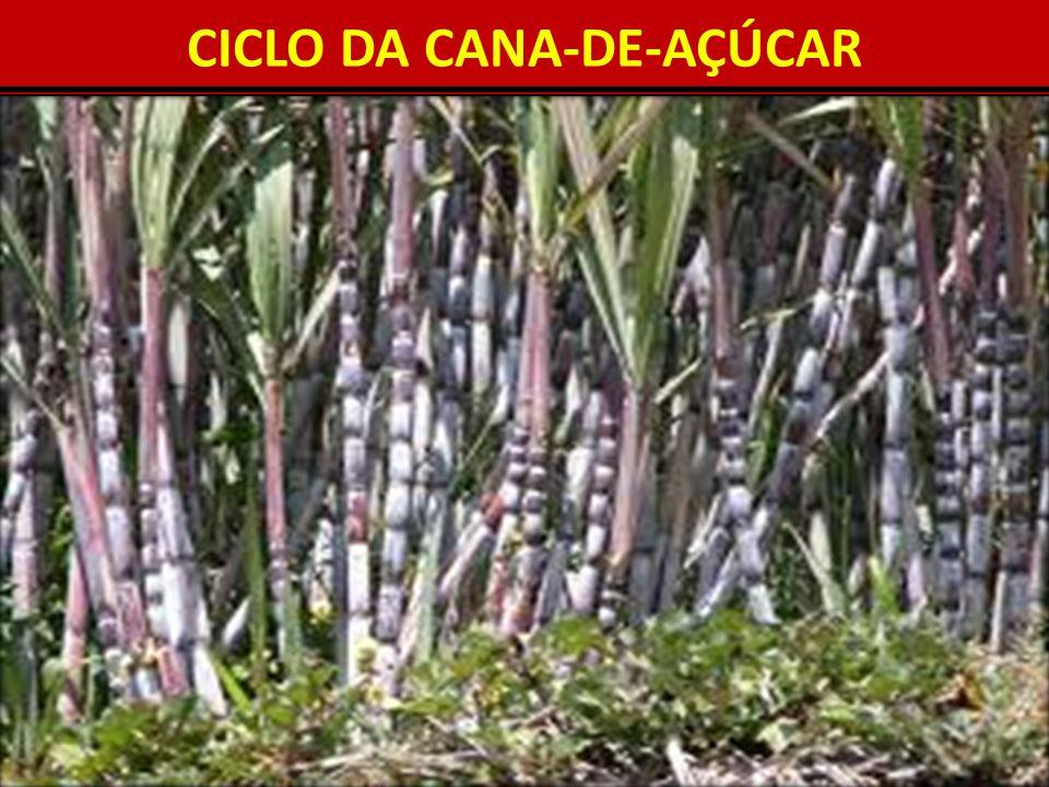 CICLO DA CANA-DE-AÇÚCAR