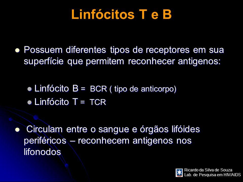 Linfócitos T e B Possuem diferentes tipos de receptores em sua superfície que permitem reconhecer antigenos: