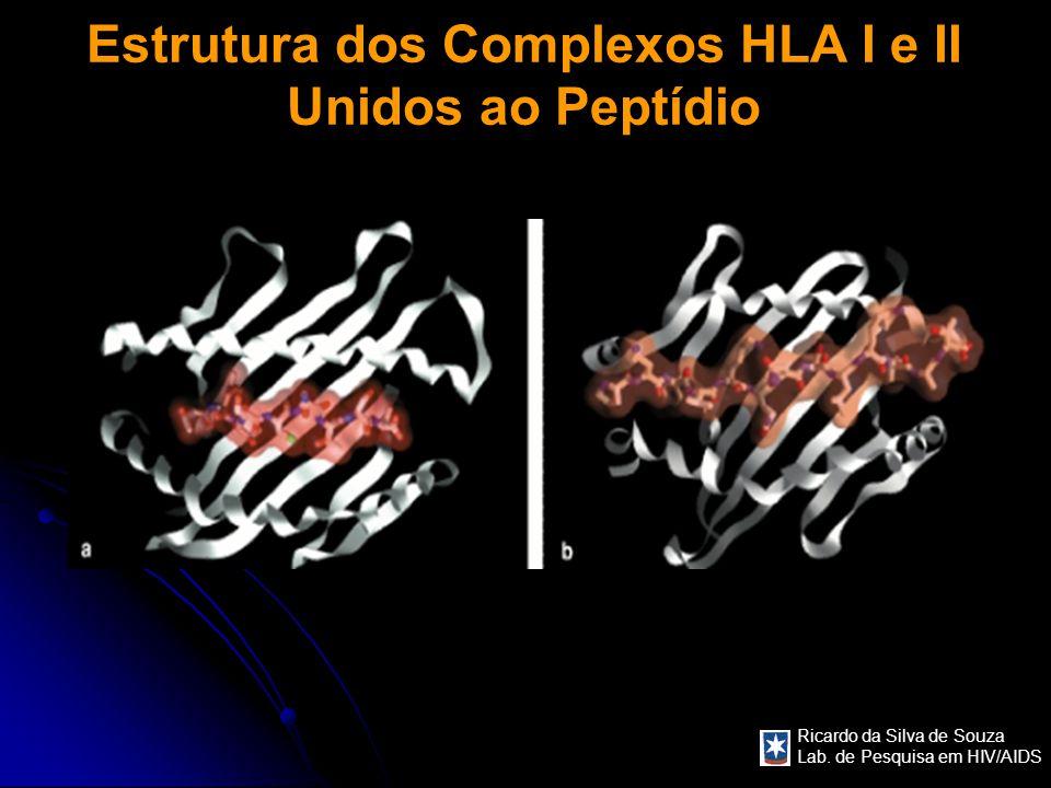 Estrutura dos Complexos HLA I e II Unidos ao Peptídio