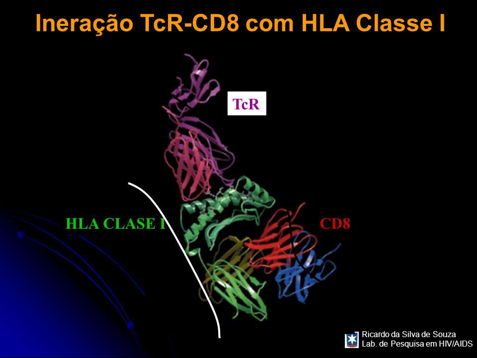 Ineração TcR-CD8 com HLA Classe I