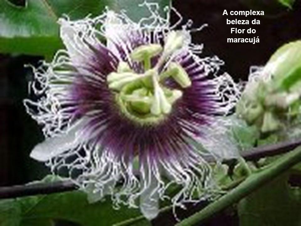 A complexa beleza da Flor do maracujá