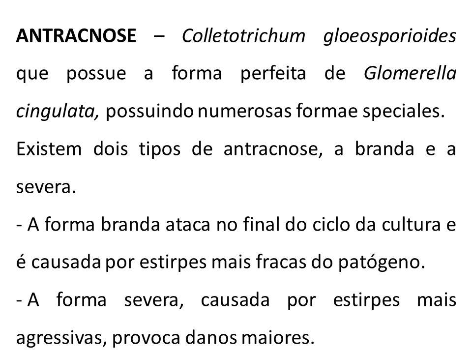 ANTRACNOSE – Colletotrichum gloeosporioides que possue a forma perfeita de Glomerella cingulata, possuindo numerosas formae speciales.