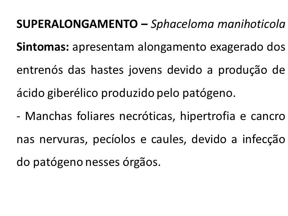 SUPERALONGAMENTO – Sphaceloma manihoticola Sintomas: apresentam alongamento exagerado dos entrenós das hastes jovens devido a produção de ácido giberélico produzido pelo patógeno.