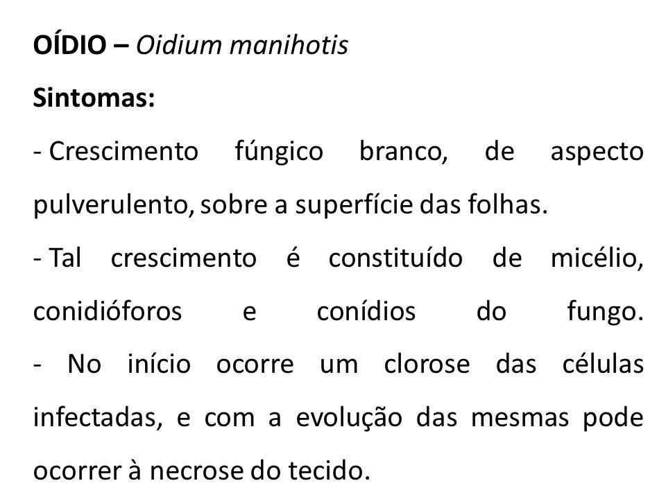 OÍDIO – Oidium manihotis