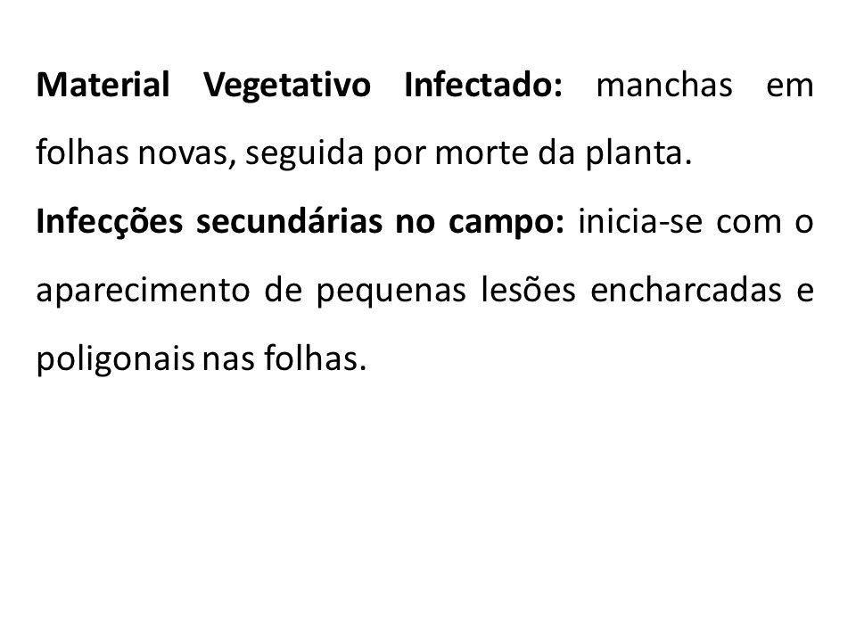 Material Vegetativo Infectado: manchas em folhas novas, seguida por morte da planta.