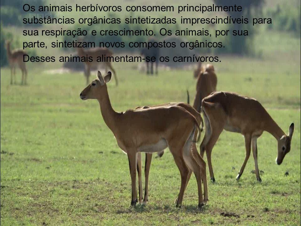 Os animais herbívoros consomem principalmente substâncias orgânicas sintetizadas imprescindíveis para sua respiração e crescimento. Os animais, por sua parte, sintetizam novos compostos orgânicos.