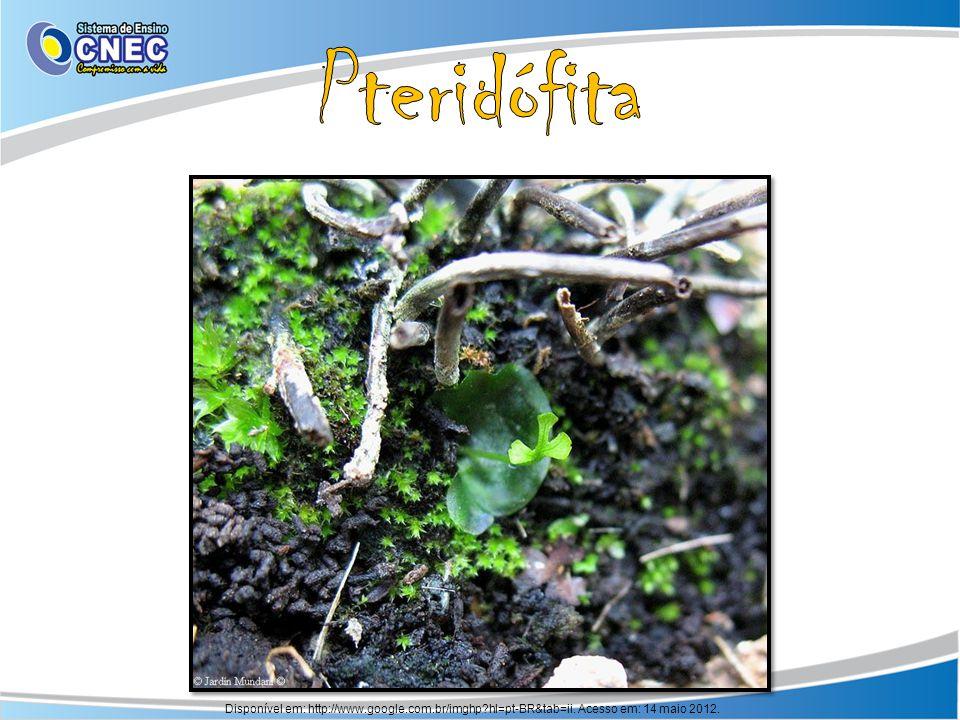 Pteridófita Disponível em: http://www.google.com.br/imghp hl=pt-BR&tab=ii. Acesso em: 14 maio 2012.