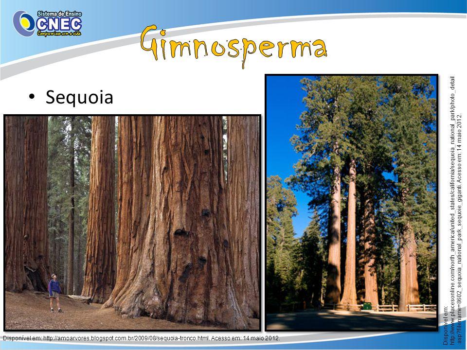 Gimnosperma Sequoia.