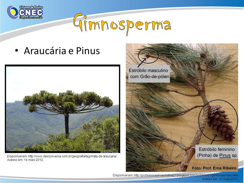 Gimnosperma Araucária e Pinus