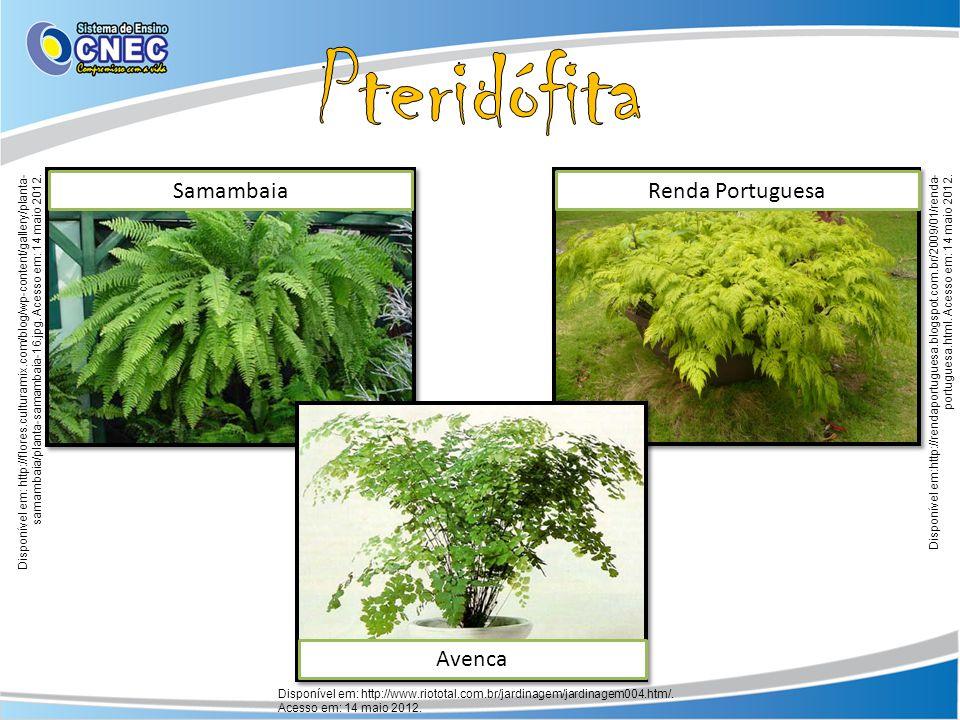 Pteridófita Samambaia Renda Portuguesa Avenca