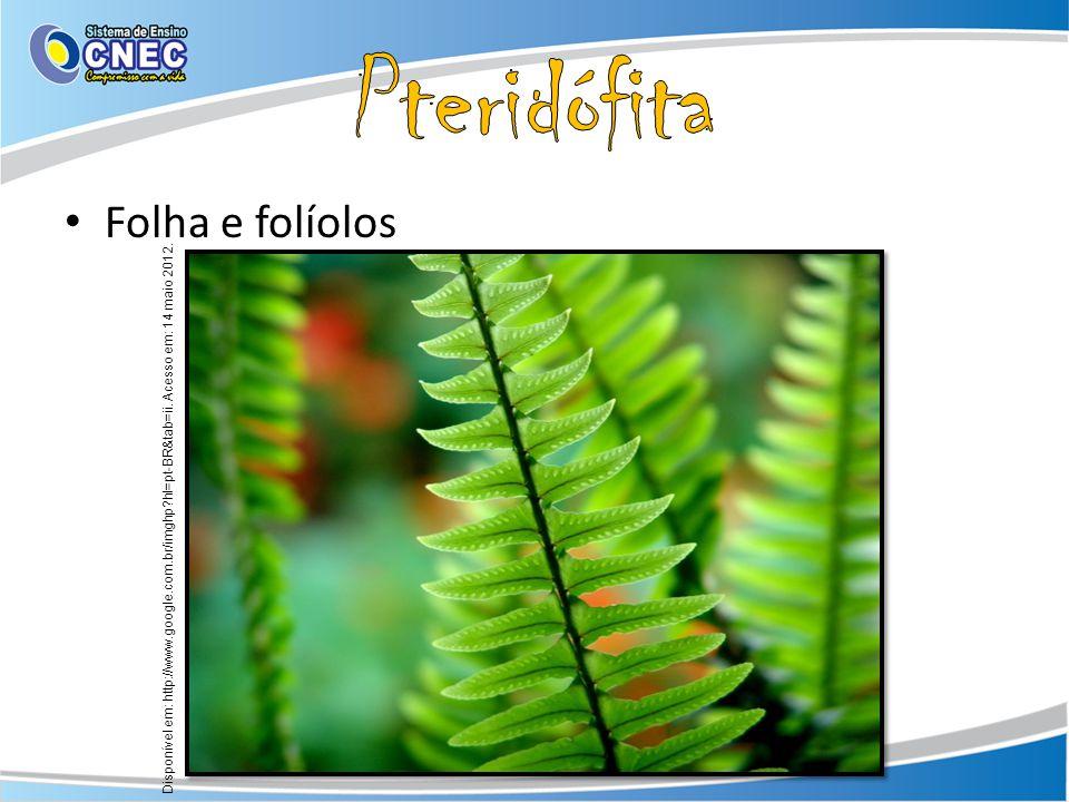 Pteridófita Folha e folíolos