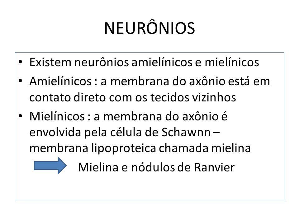 NEURÔNIOS Existem neurônios amielínicos e mielínicos