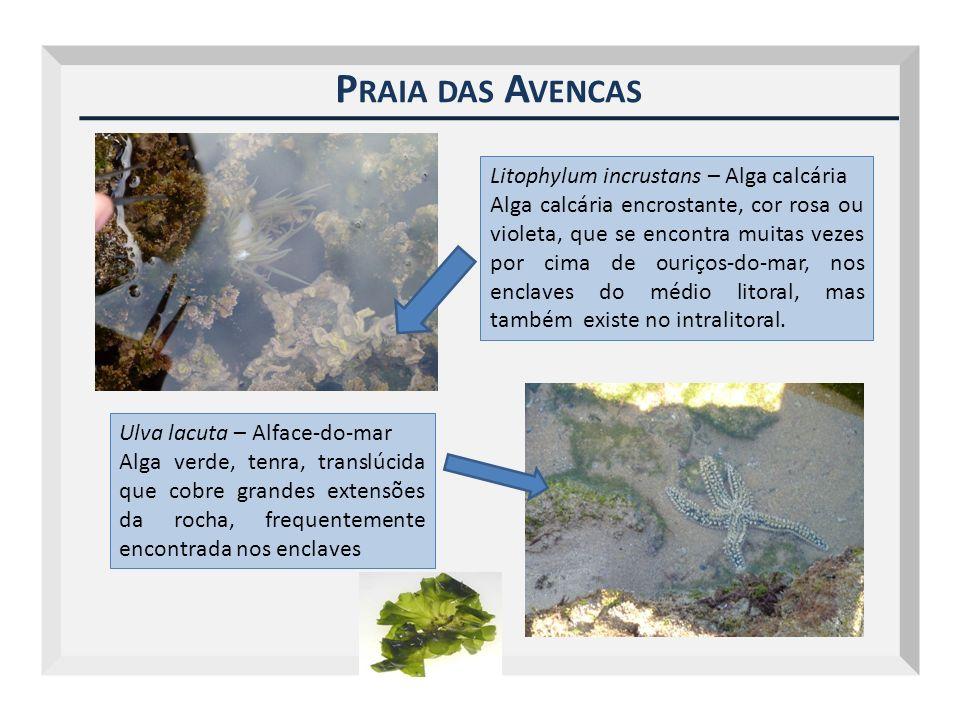 Praia das Avencas Litophylum incrustans – Alga calcária