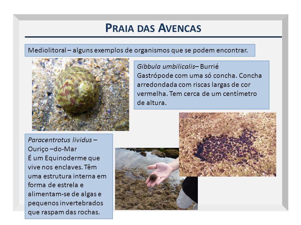 Outubro 2009 Praia das Avencas. Mediolitoral – alguns exemplos de organismos que se podem encontrar.