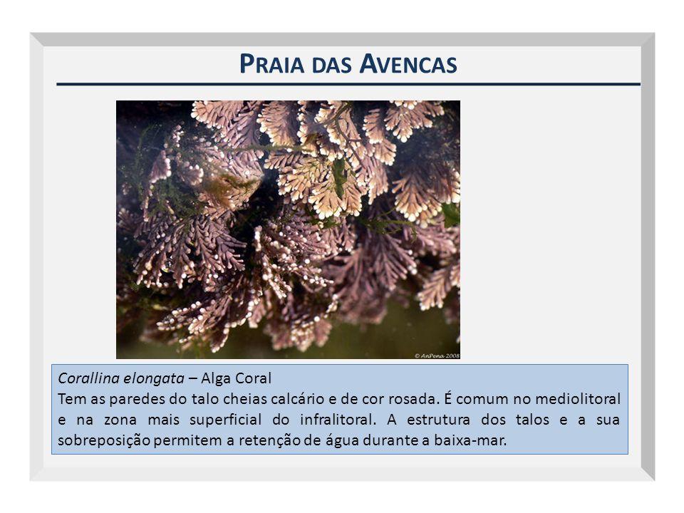 Praia das Avencas Corallina elongata – Alga Coral