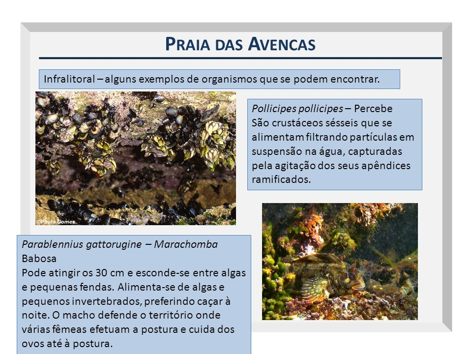 Outubro 2009 Praia das Avencas. Infralitoral – alguns exemplos de organismos que se podem encontrar.