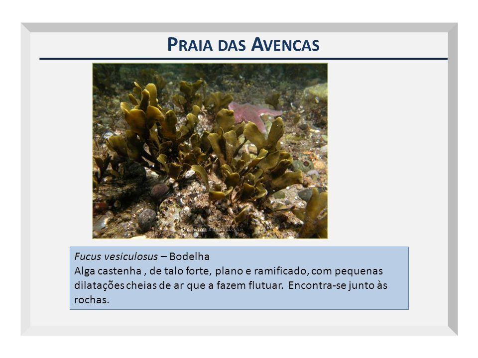 Praia das Avencas Fucus vesiculosus – Bodelha