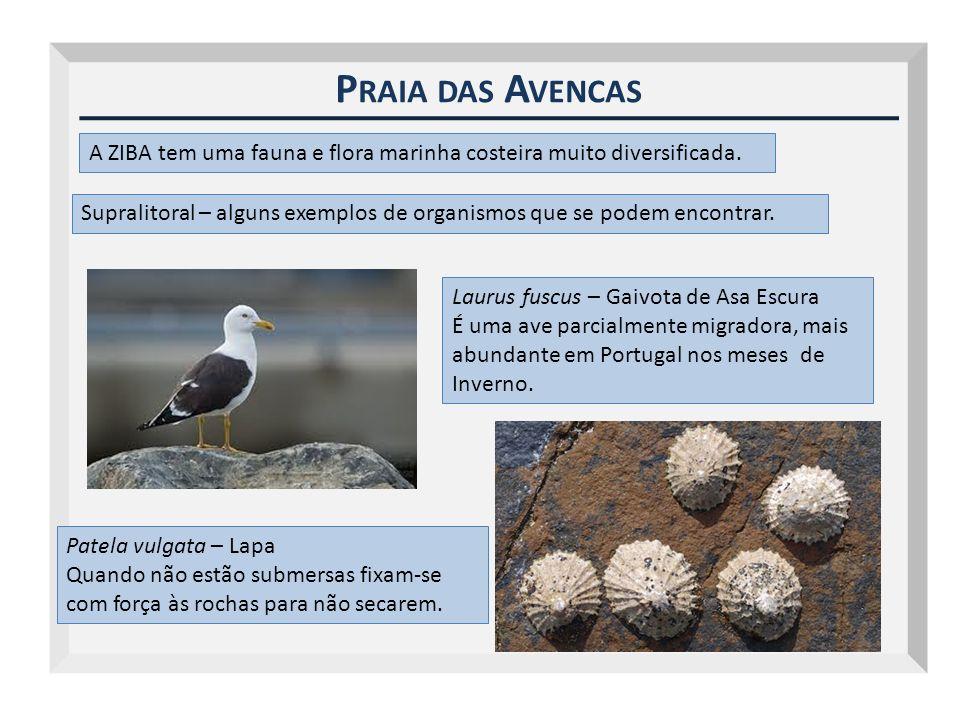 Outubro 2009 Praia das Avencas. A ZIBA tem uma fauna e flora marinha costeira muito diversificada.