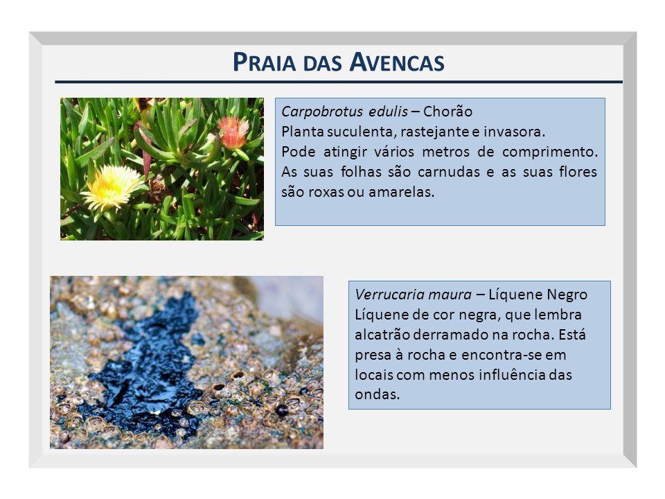 Praia das Avencas Carpobrotus edulis – Chorão