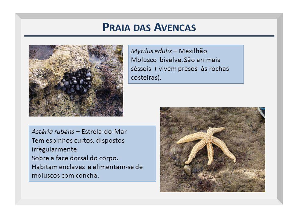 Praia das Avencas Mytilus edulis – Mexilhão