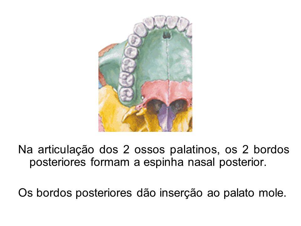 Na articulação dos 2 ossos palatinos, os 2 bordos posteriores formam a espinha nasal posterior.