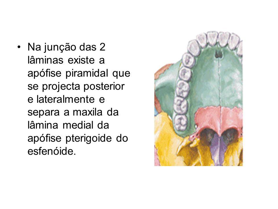 Na junção das 2 lâminas existe a apófise piramidal que se projecta posterior e lateralmente e separa a maxila da lâmina medial da apófise pterigoide do esfenóide.