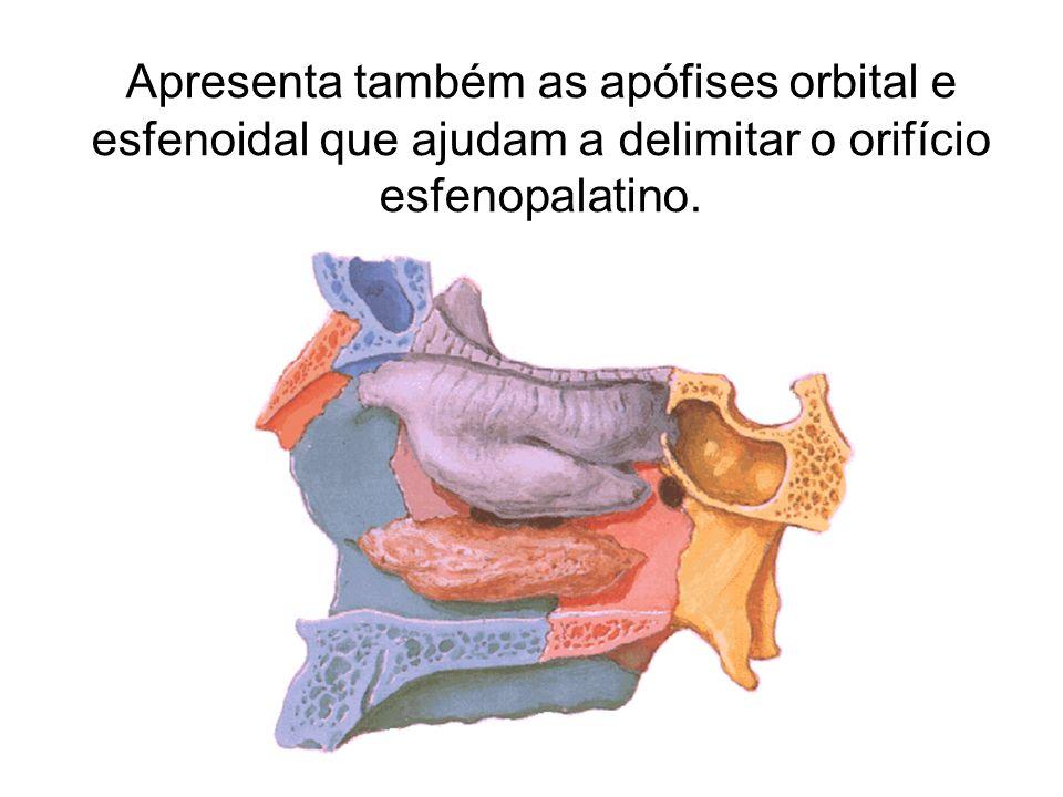 Apresenta também as apófises orbital e esfenoidal que ajudam a delimitar o orifício esfenopalatino.