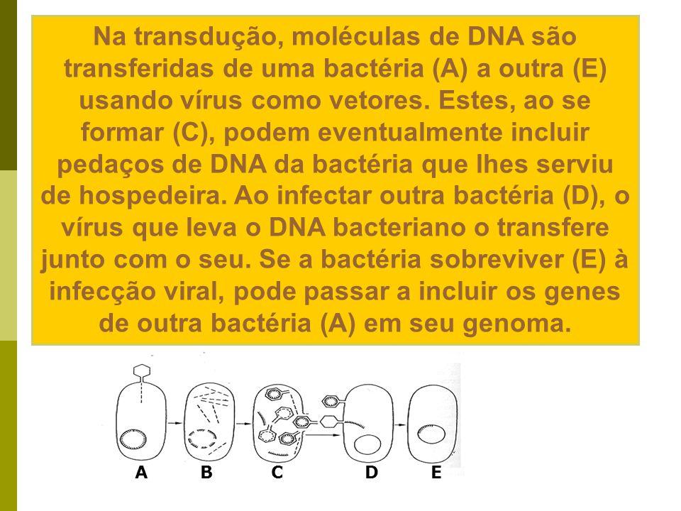 Na transdução, moléculas de DNA são transferidas de uma bactéria (A) a outra (E) usando vírus como vetores. Estes, ao se formar (C), podem eventualmente incluir pedaços de DNA da bactéria que lhes serviu de hospedeira. Ao infectar outra bactéria (D), o vírus que leva o DNA bacteriano o transfere junto com o seu. Se a bactéria sobreviver (E) à infecção viral, pode passar a incluir os genes de outra bactéria (A) em seu genoma.