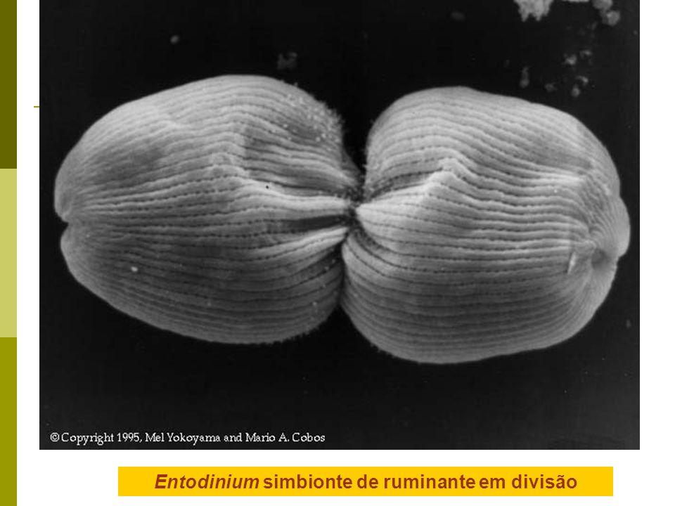 Entodinium simbionte de ruminante em divisão