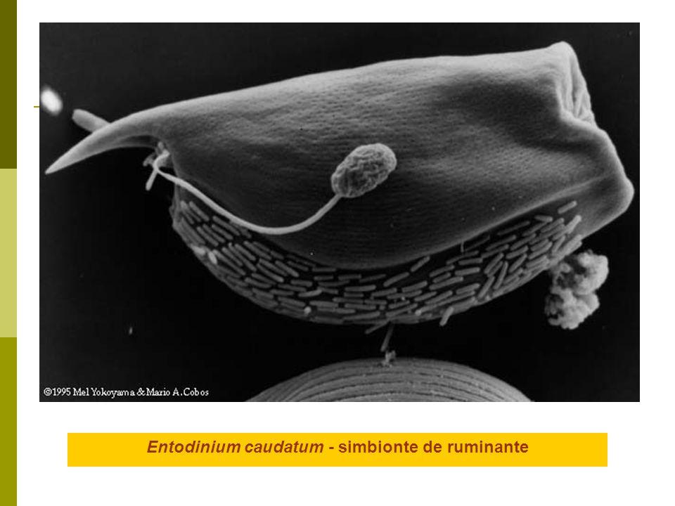 Entodinium caudatum - simbionte de ruminante