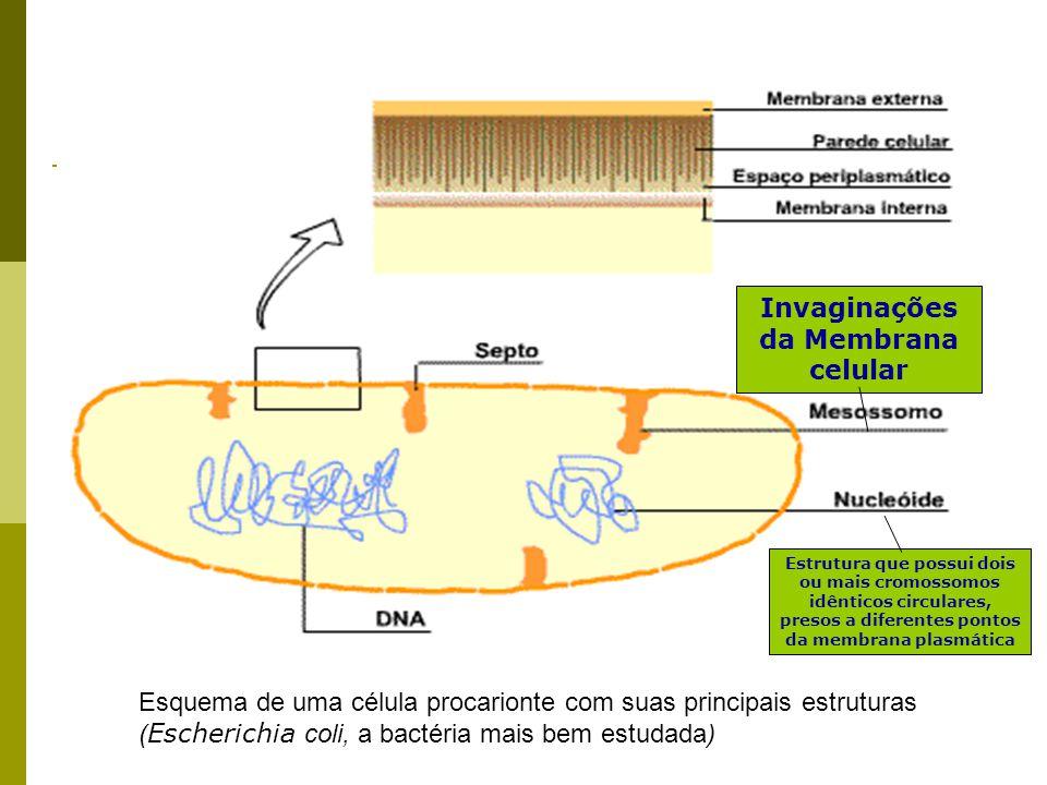 Invaginações da Membrana celular