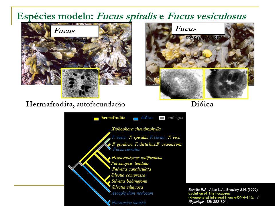 Espécies modelo: Fucus spiralis e Fucus vesiculosus