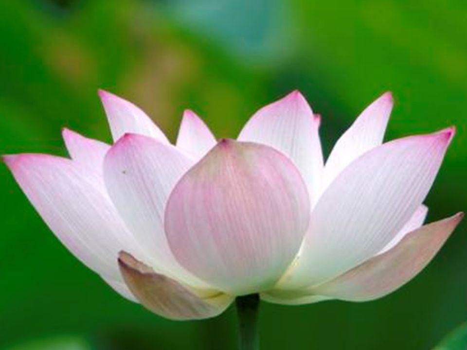 Disse o mestre: apenas observe a flor de lótus…