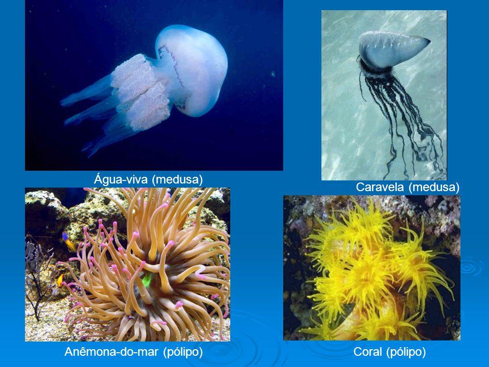 Água-viva (medusa) Caravela (medusa) Anêmona-do-mar (pólipo) Coral (pólipo)