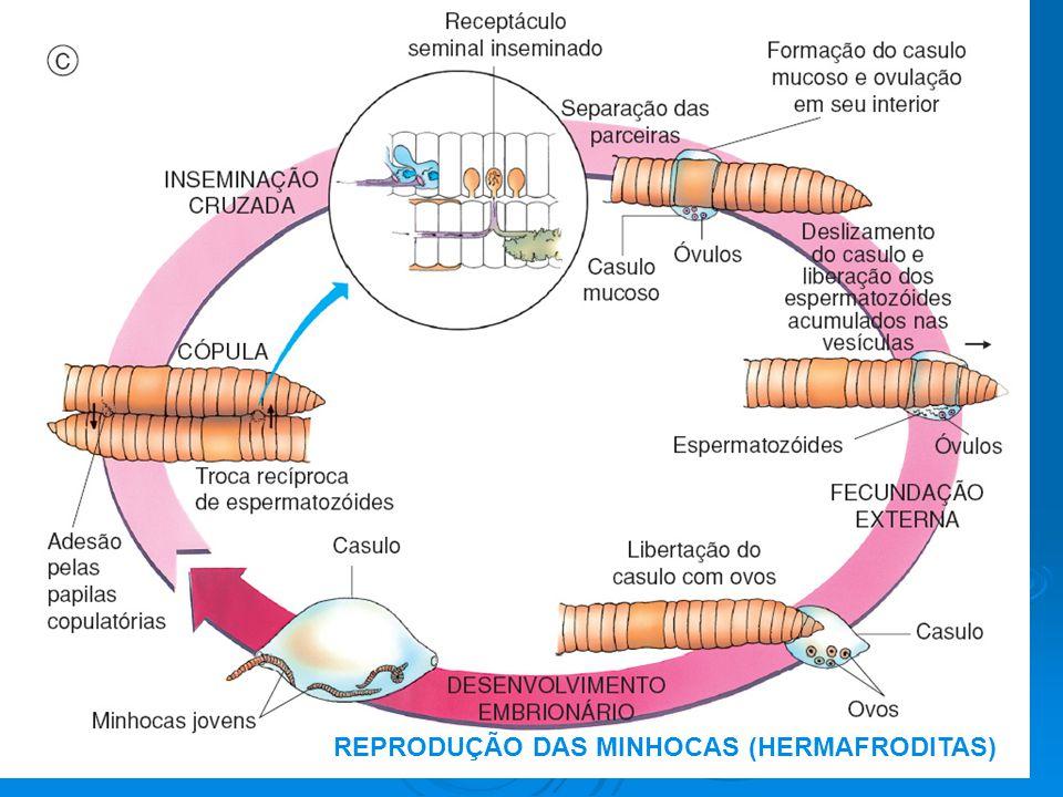REPRODUÇÃO DAS MINHOCAS (HERMAFRODITAS)