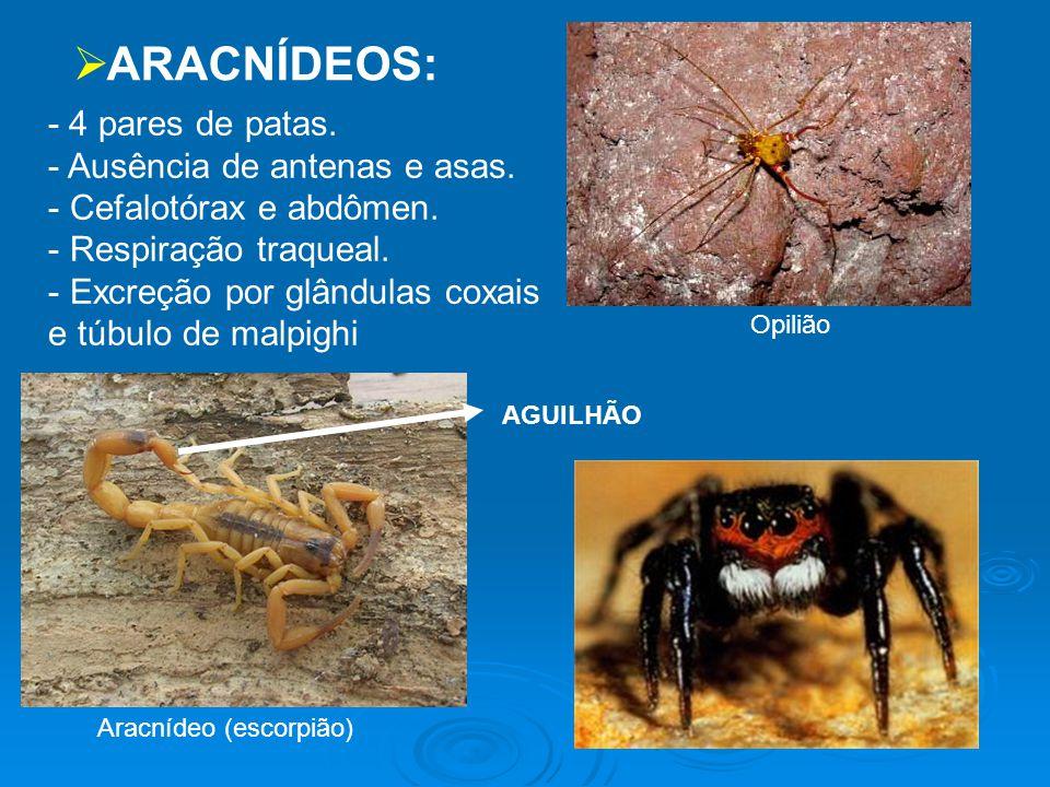 ARACNÍDEOS: - 4 pares de patas. Ausência de antenas e asas.