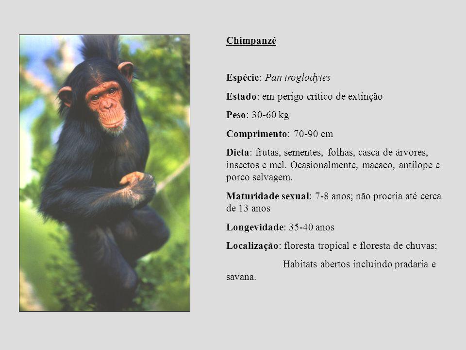 Chimpanzé Espécie: Pan troglodytes. Estado: em perigo crítico de extinção. Peso: 30-60 kg. Comprimento: 70-90 cm.