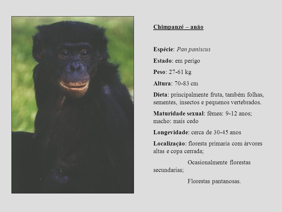 Chimpanzé – anão Espécie: Pan paniscus. Estado: em perigo. Peso: 27-61 kg. Altura: 70-83 cm.