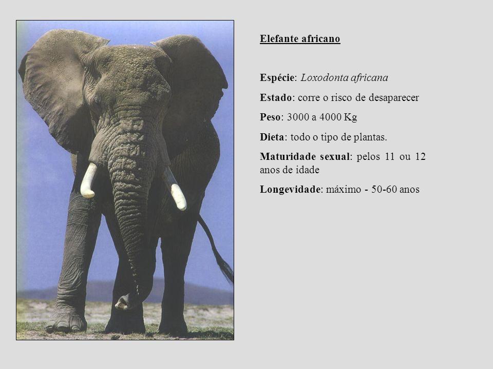 Elefante africano Espécie: Loxodonta africana. Estado: corre o risco de desaparecer. Peso: 3000 a 4000 Kg.