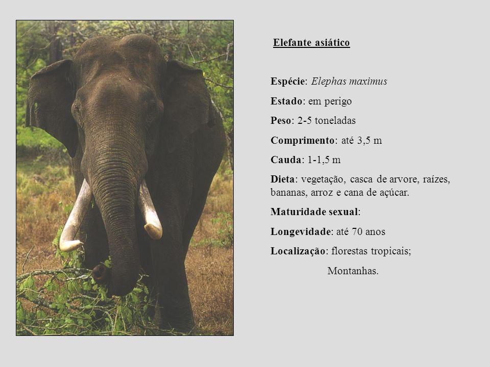 Elefante asiático Espécie: Elephas maximus. Estado: em perigo. Peso: 2-5 toneladas. Comprimento: até 3,5 m.