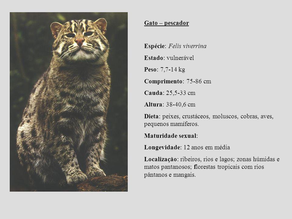 Gato – pescador Espécie: Felis viverrina. Estado: vulnerável. Peso: 7,7-14 kg. Comprimento: 75-86 cm.