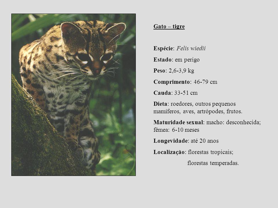 Gato – tigre Espécie: Felis wiedii. Estado: em perigo. Peso: 2,6-3,9 kg. Comprimento: 46-79 cm. Cauda: 33-51 cm.
