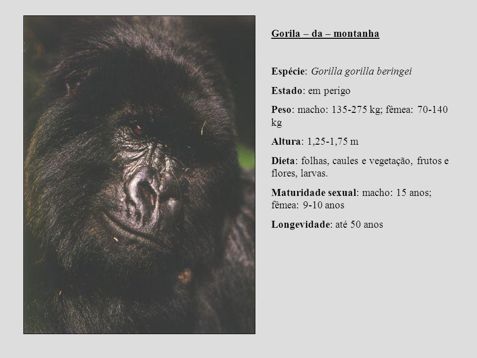 Gorila – da – montanha Espécie: Gorilla gorilla beringei. Estado: em perigo. Peso: macho: 135-275 kg; fêmea: 70-140 kg.