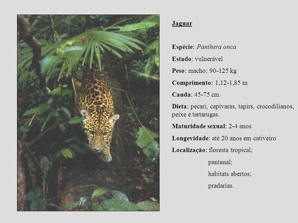 Jaguar Espécie: Panthera onca. Estado: vulnerável. Peso: macho: 90-125 kg. Comprimento: 1,12-1,85 m.