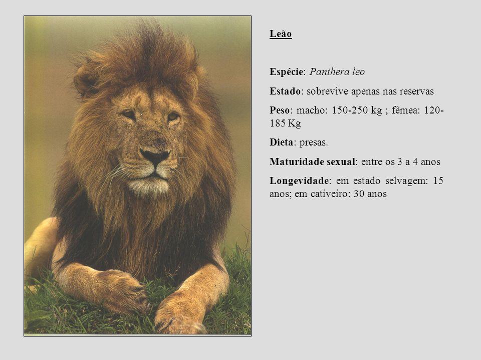 Leão Espécie: Panthera leo. Estado: sobrevive apenas nas reservas. Peso: macho: 150-250 kg ; fêmea: 120-185 Kg.
